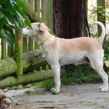 How to keep a dog from jumping the fence - Dogs behavior