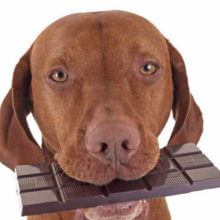 How Much Chocolate Can A Dog Eat Without Dying
