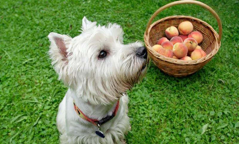 Can Dog Eat Peaches?