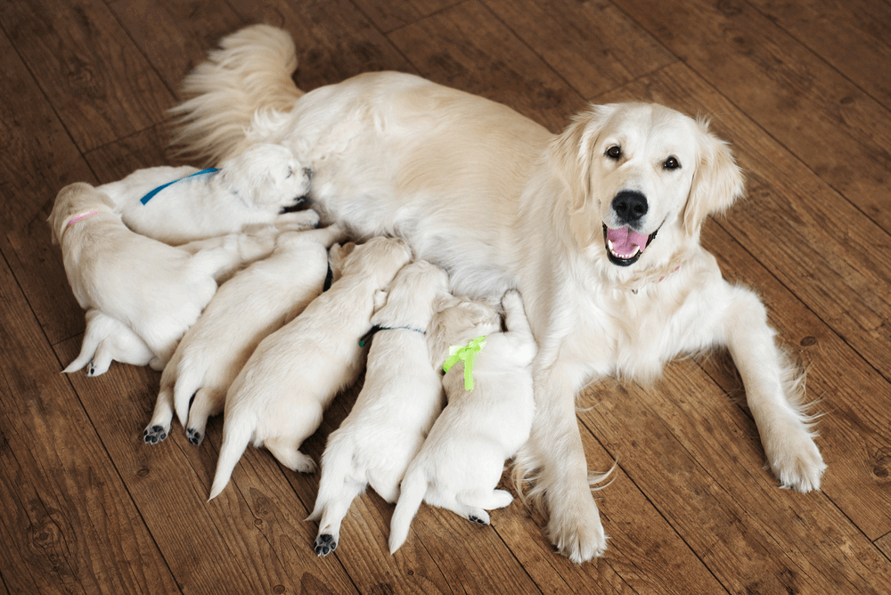 How many puppies can a Dog have